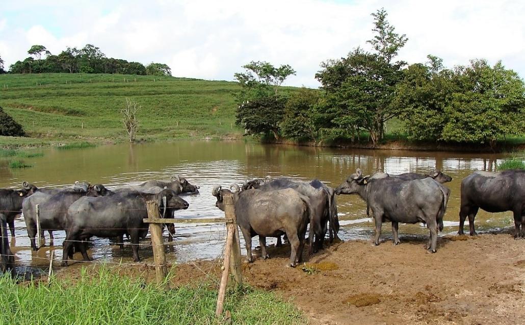 Resultado de imagem para Criação de búfalos