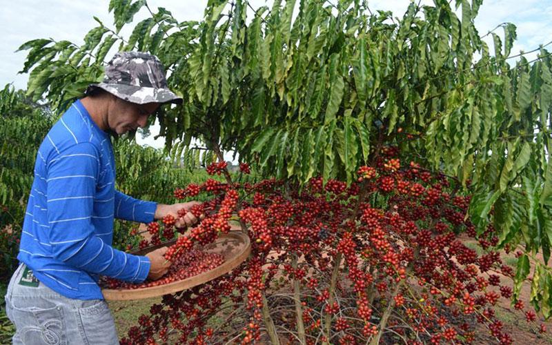 cultivo e colheita do café